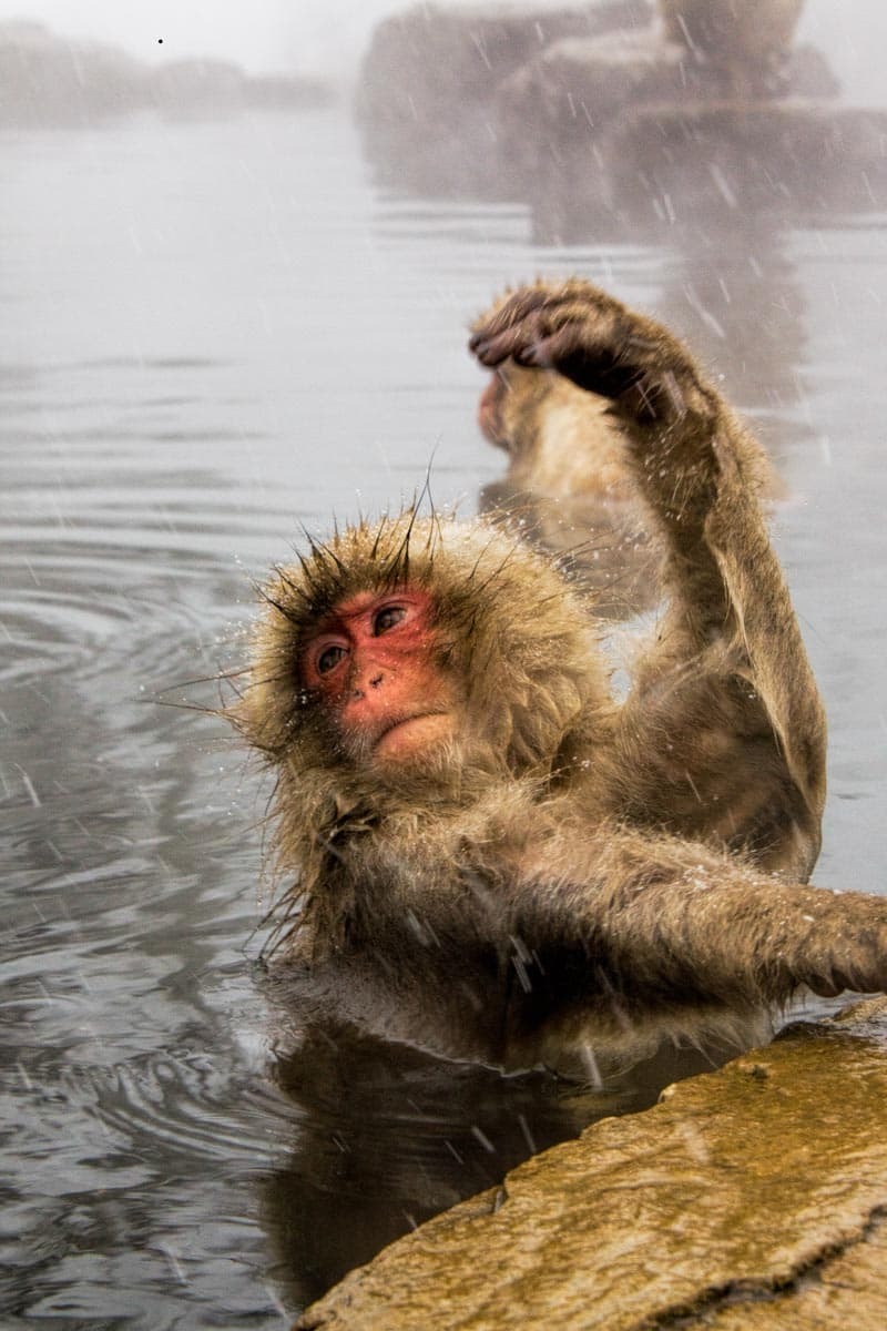 Don't miss the Japanese macaque (snow monkeys) in Nagano, Japan. This link shows you how to do it as an independent day trip from Tokyo