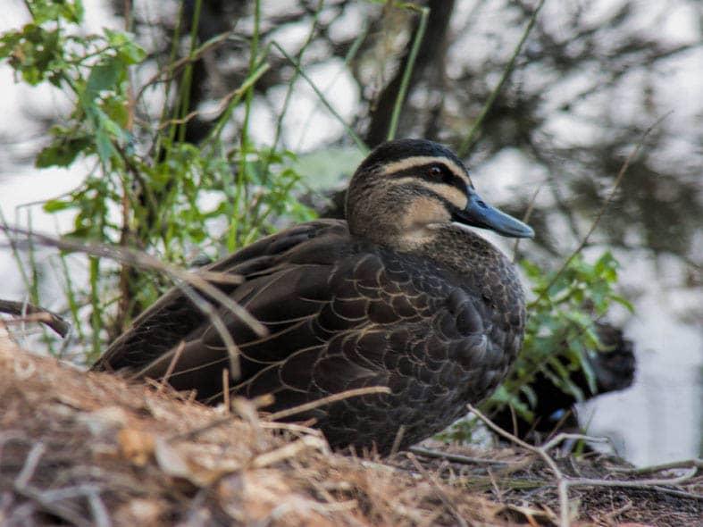 Pacific Black Duck