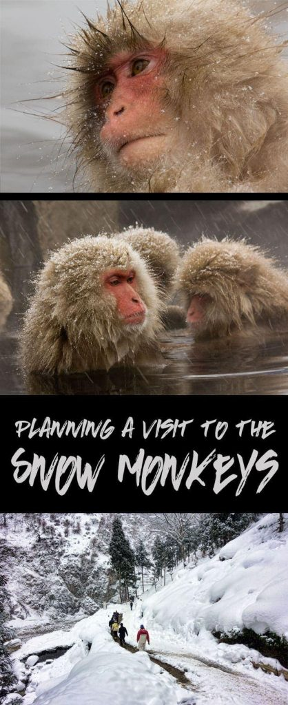 How to plan your visit to the snow monkeys of Nagano, Japan