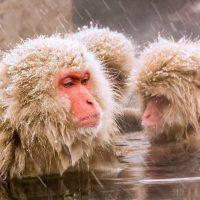 Japanese snow monkeys in Nagano