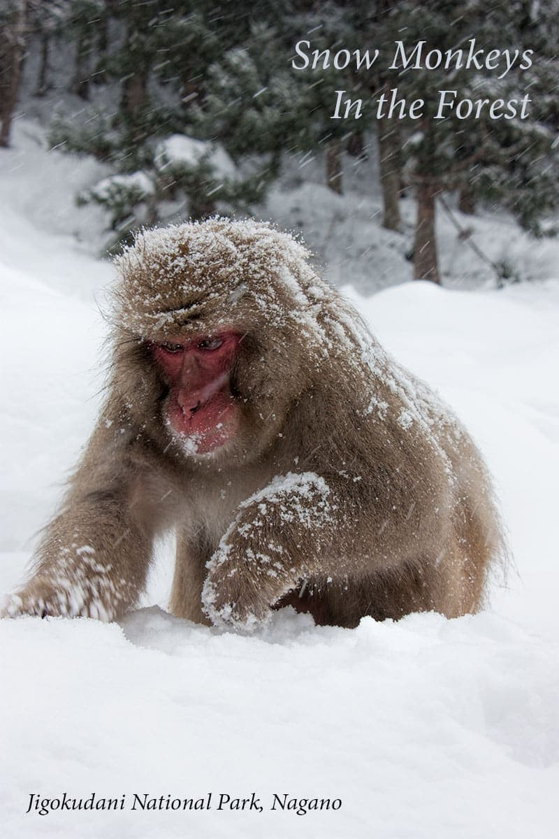 Photos and travel tips to see the snow monkeys of Jigokudani in Nagano, Japan