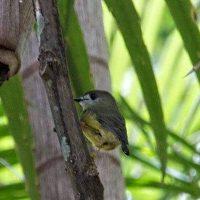 Light yellow robin