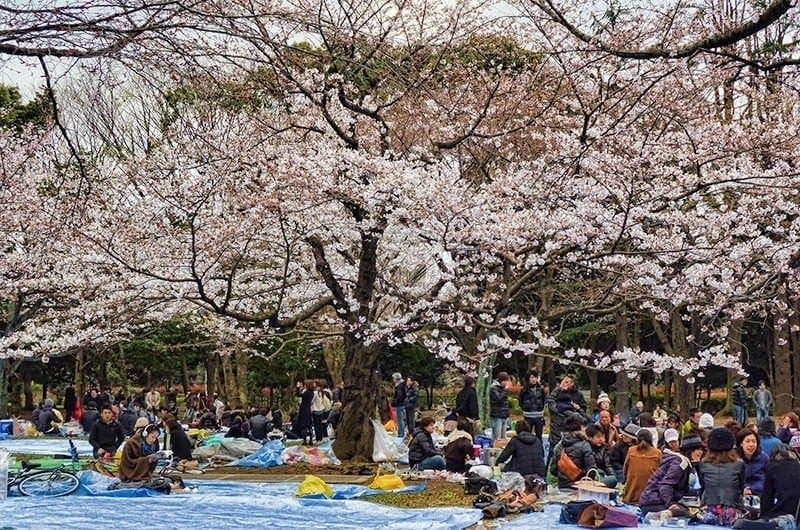 Hanami parties at Yoyogi park, Tokyo