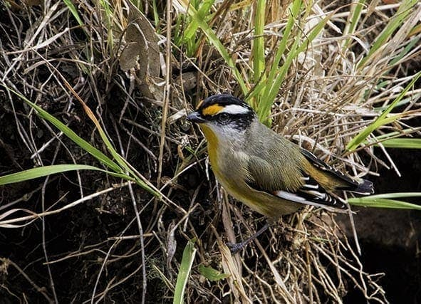 Black headed striated pardalote