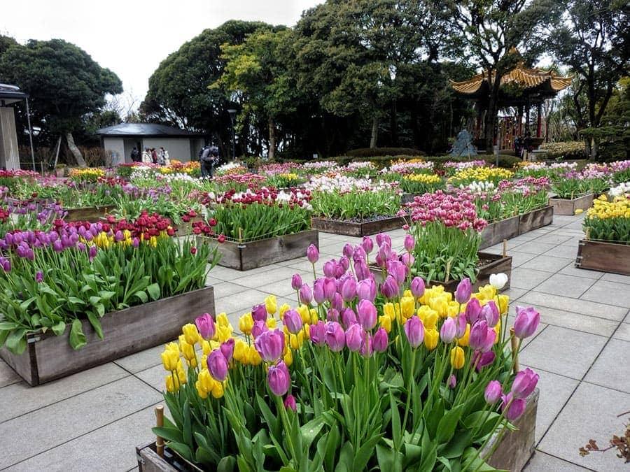 Tulips in Enoshima