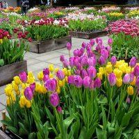 Tulips on Enoshima Island