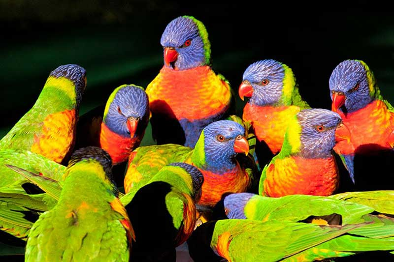 Currumbin Wildlife Sanctuary Lorikeets