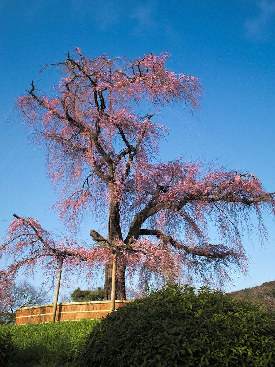 Famous weeping cherry of Maruyama