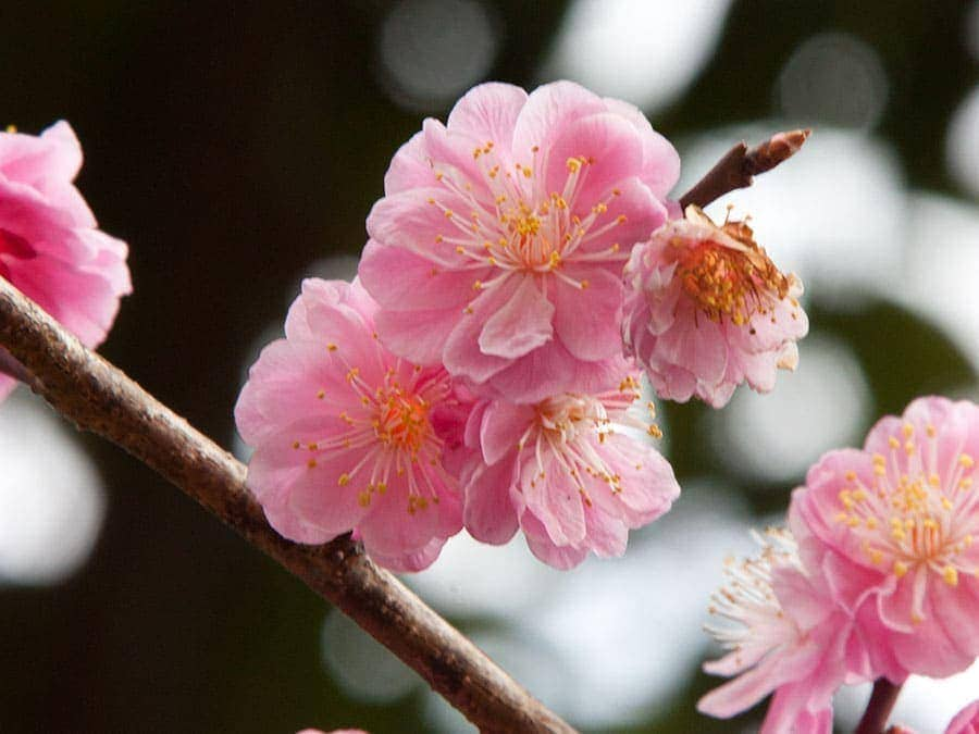 Sakura Arashiyama   www.2aussietravellers.