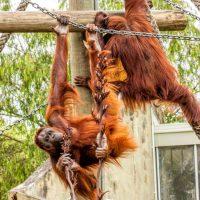 orangatans playing at Auckland Zoo