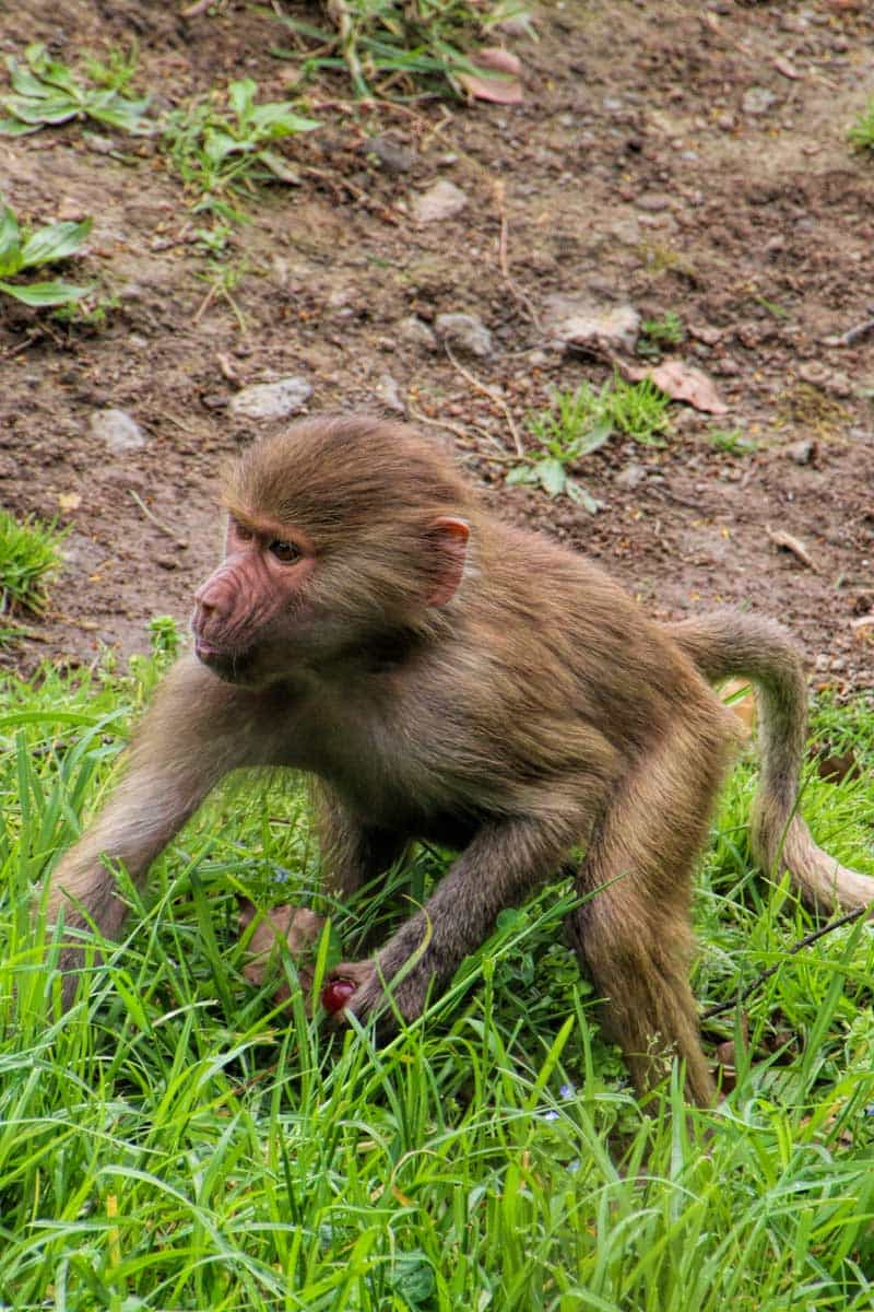 A guide to visiting Auckland Zoo, New Zealand - How cute is this Baboon Baby