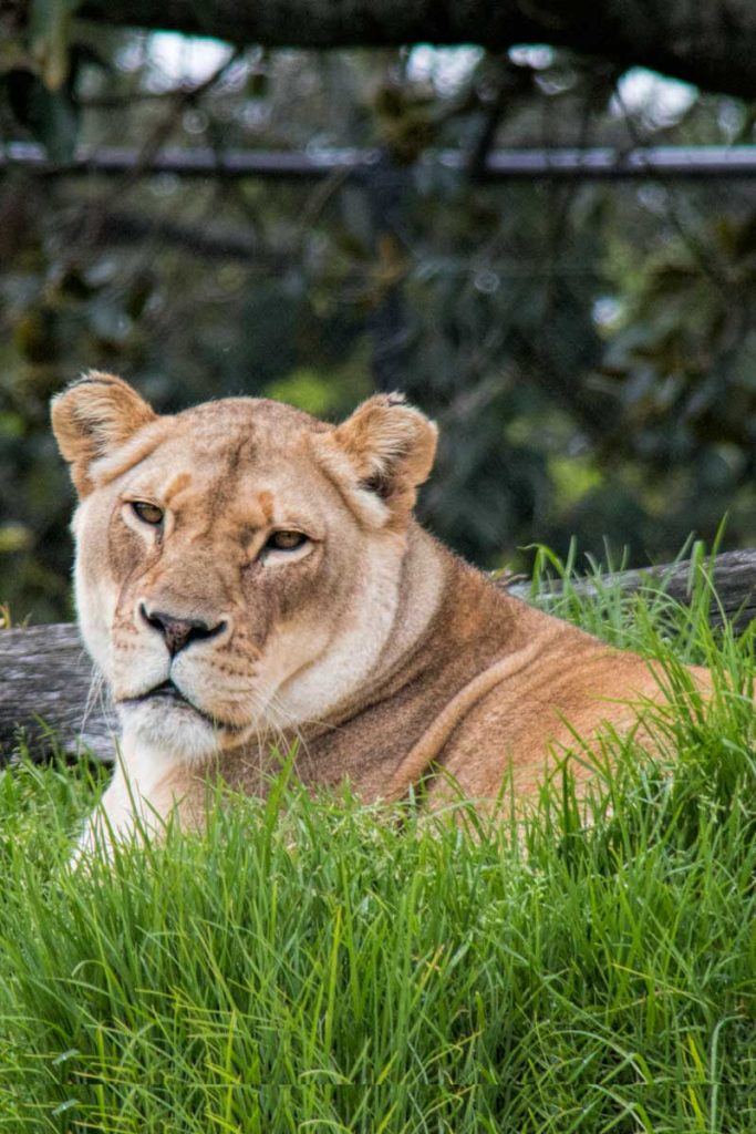 A guide to visiting Auckland Zoo, New Zealand - A female lion at lion island