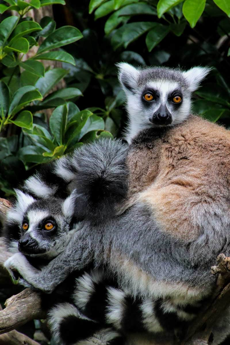 A guide to visiting Auckland Zoo, New Zealand - A lemur family cuddle