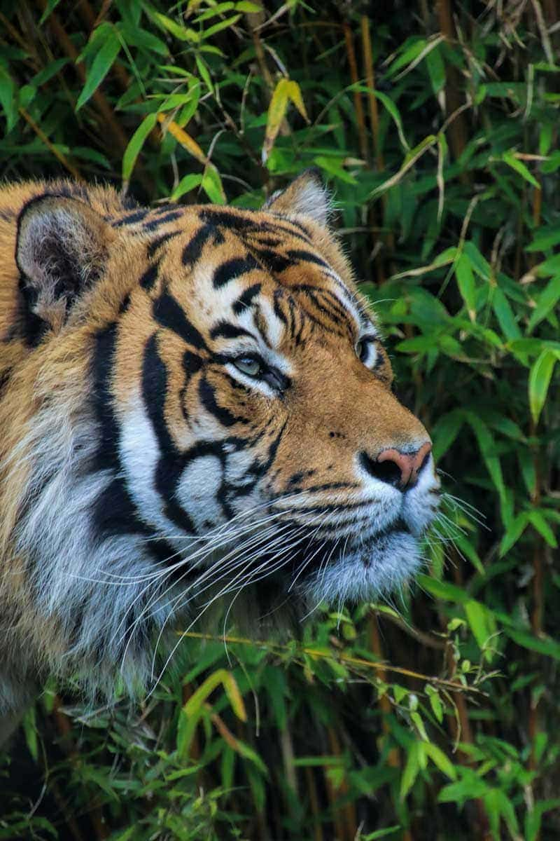 A guide to visiting Auckland Zoo, New Zealand - A male tiger