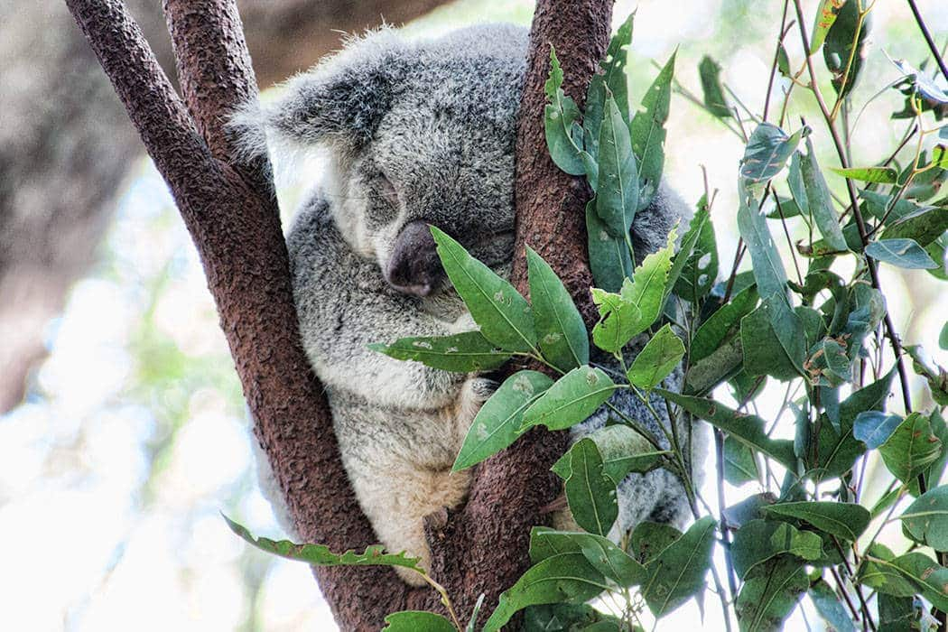 Koala at Currumbin Wildlife Park
