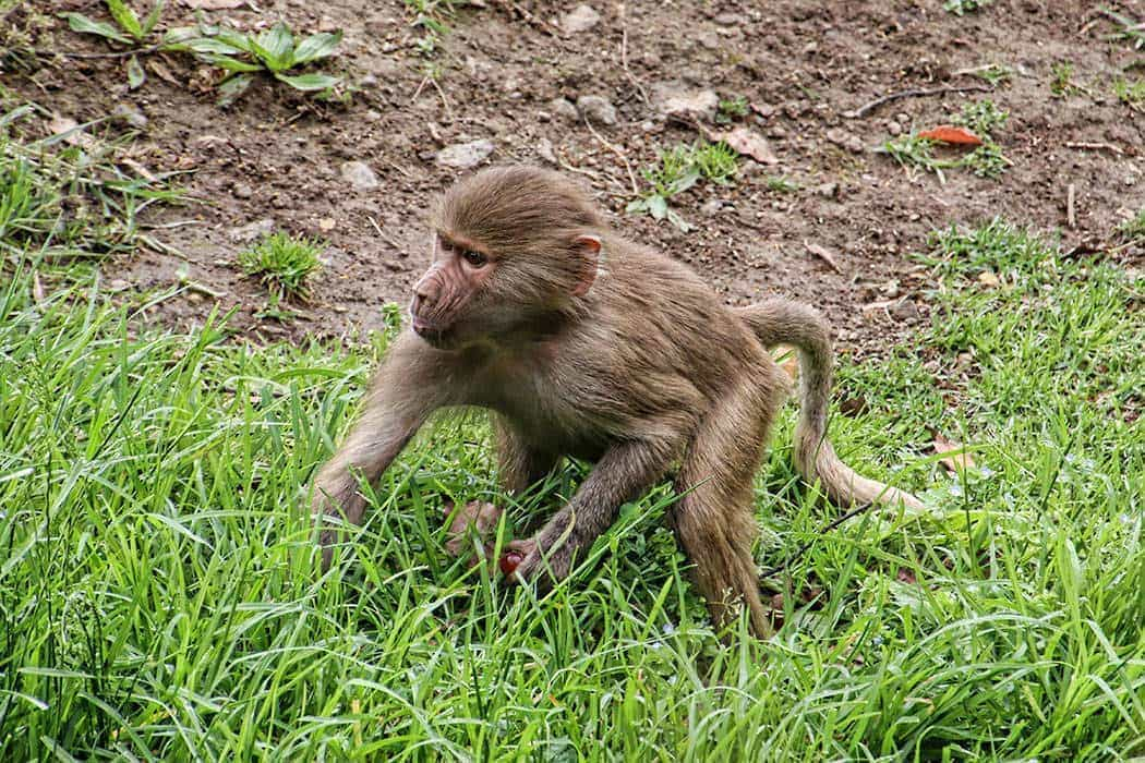 Monkey at Auckland Zoo