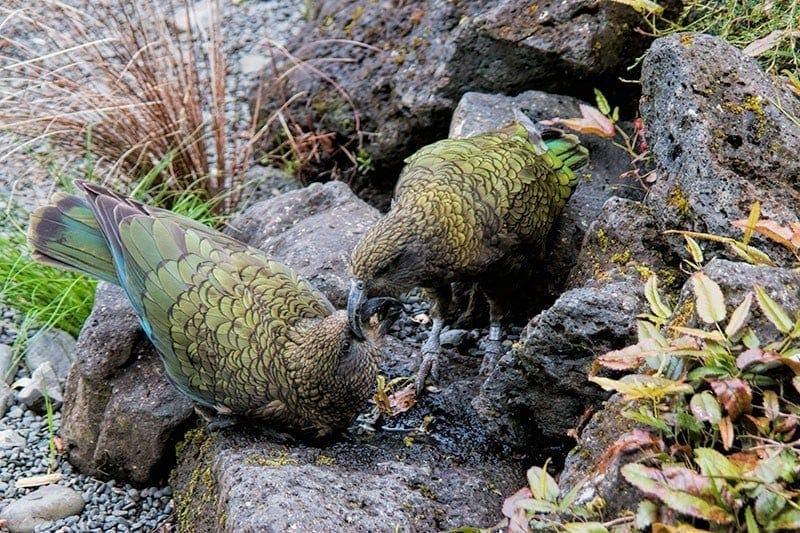 kea-feeding-chick