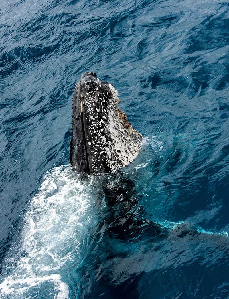 Whales in Hervey Bay