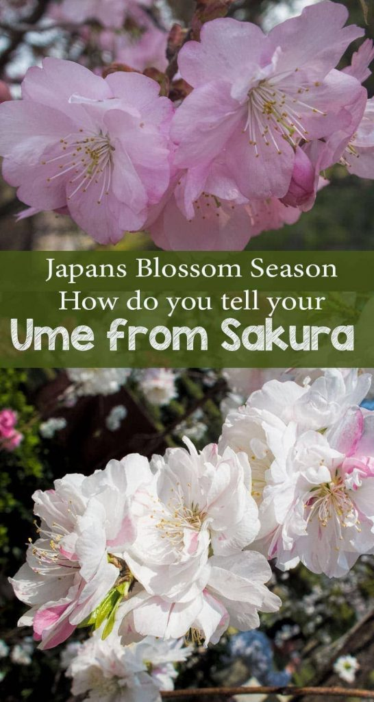 Sakura and ume - Japans cherry and plum blossoms