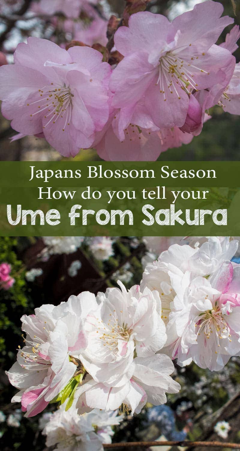 Sakura and ume - Japans cherry and plum blossoms