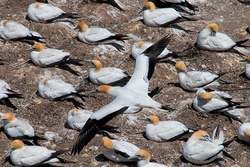 Muriwai Beach Gannets | 2 Aussie Travellers