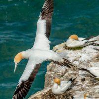 Gannets flying in Muriwai
