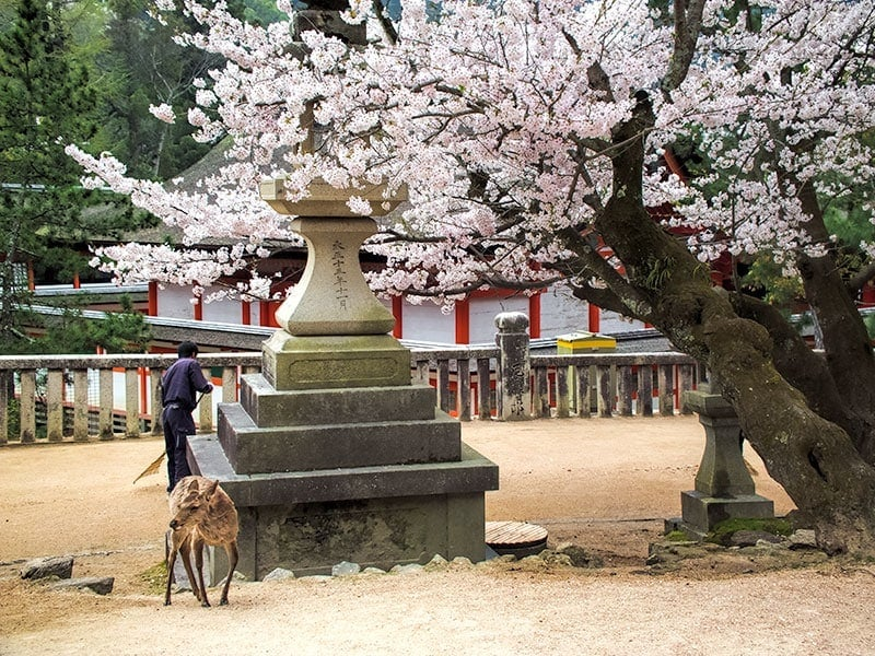 Sakura on Miyajima Island | 2 Aussie Travellers