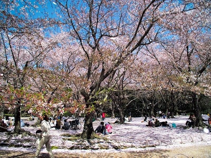 Sakura | 2 Aussie Travellers