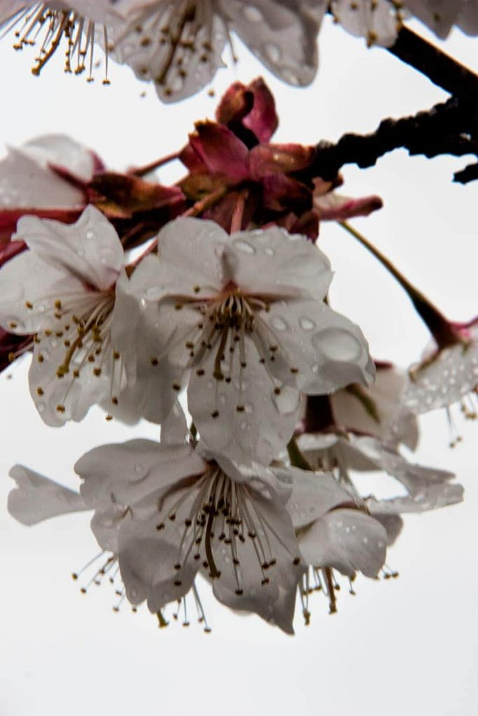 Sakura or Ume | 2 Aussie Travellers
