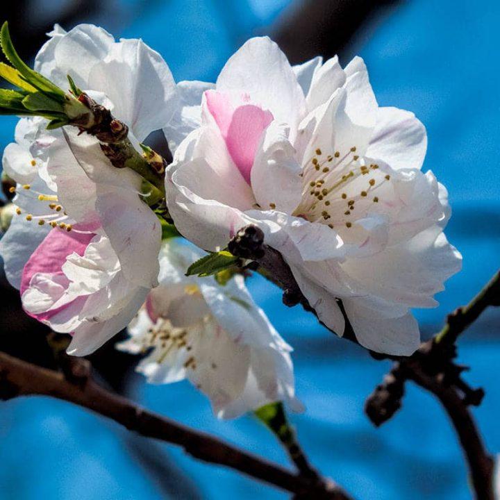 Sakura - Cherry Bossom