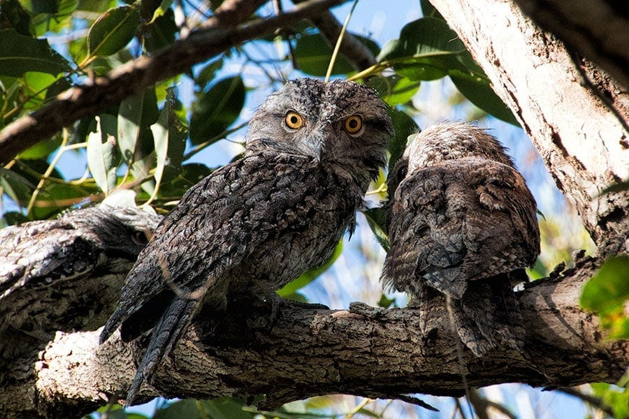 Tawny Frogmouths | 2 Aussie Travellers