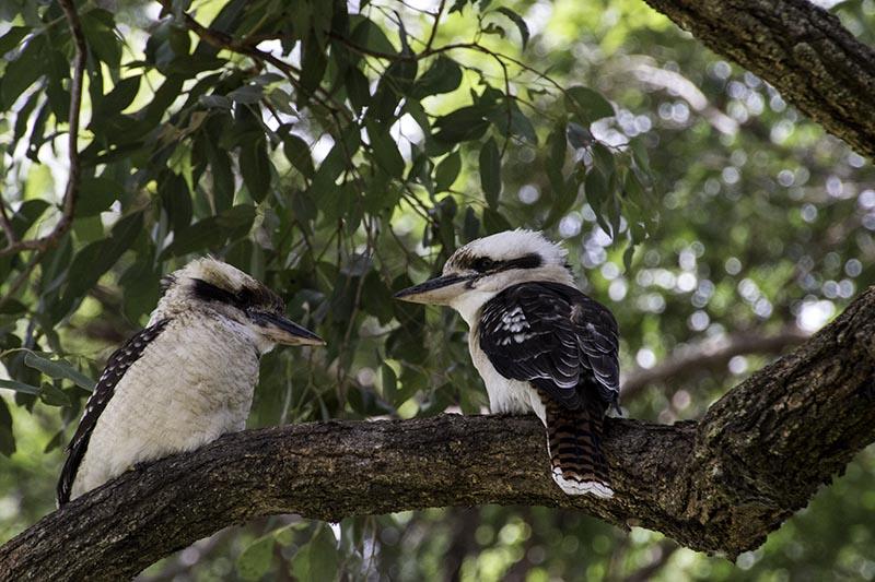 Kookaburra | 2 Aussie Travellers