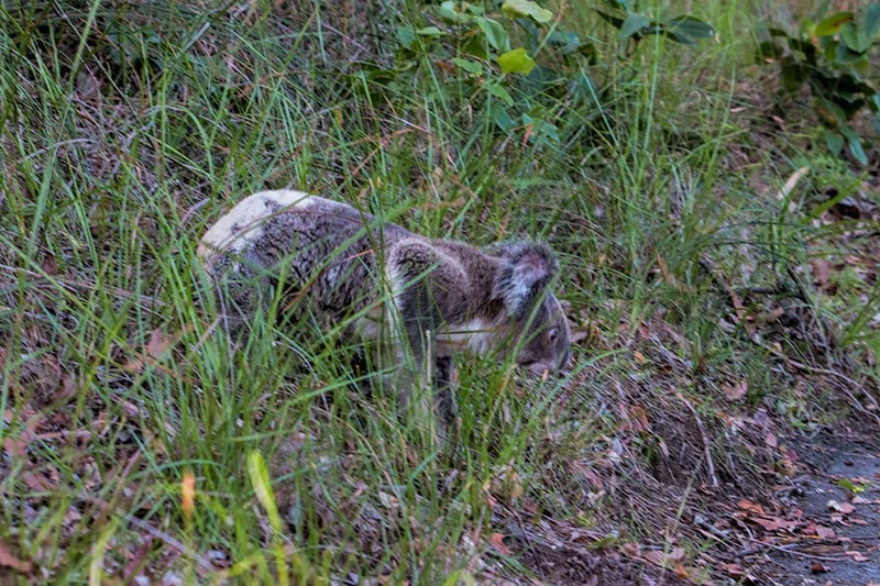 Koala in the wild | 2 Aussie Travellers