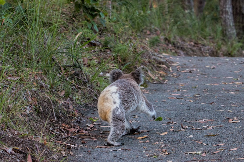 Koala in the wild | 2 Aussie Travellers