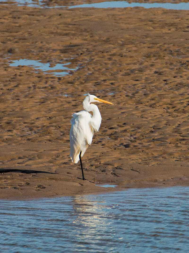 Eastern Great Egret | 2 Aussie Travellers