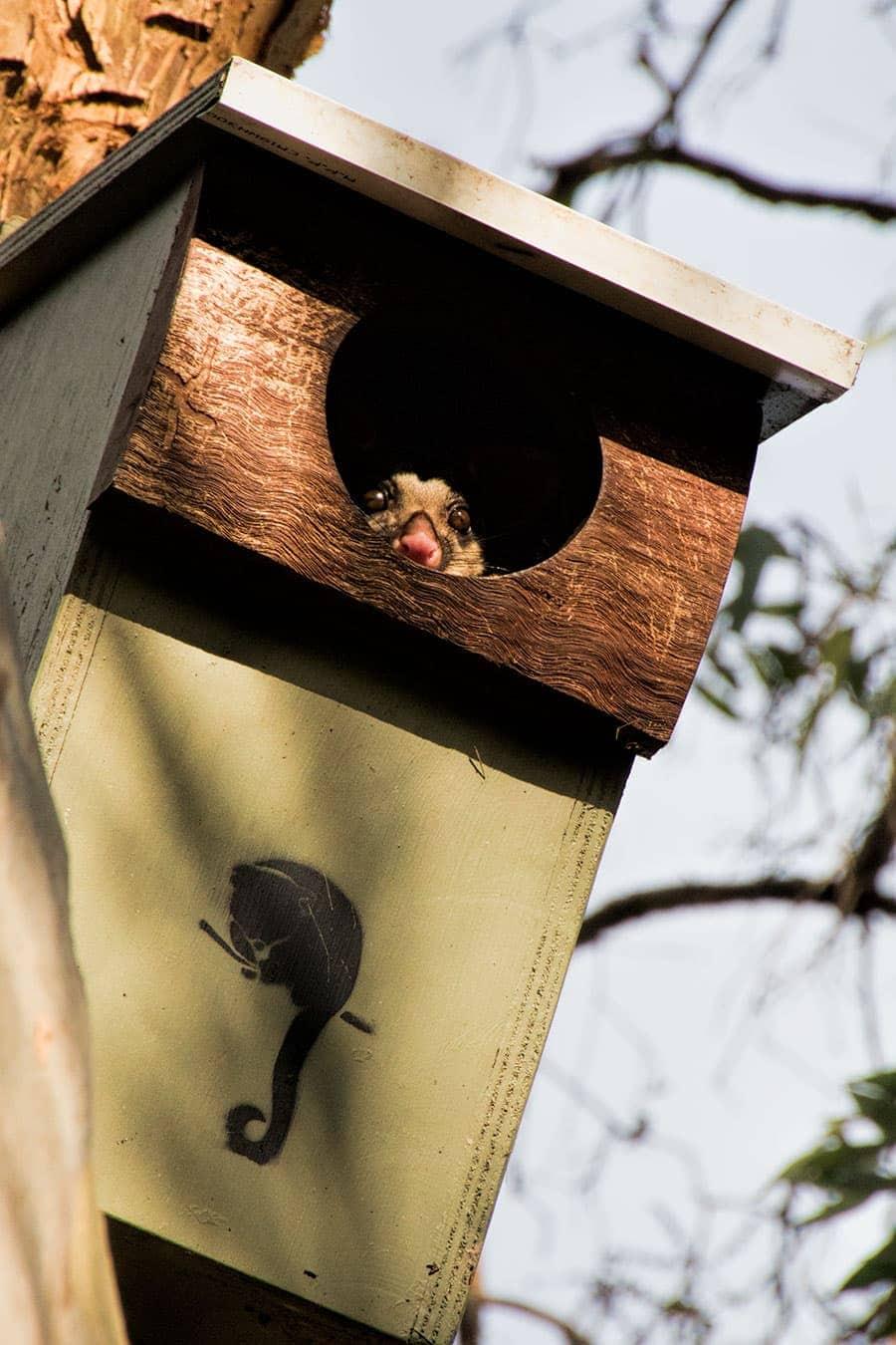 Ring Tail Possum   2 Aussie Travellers