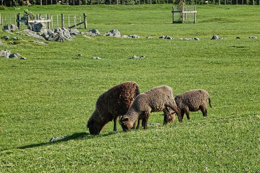 Pitt Island Sheep