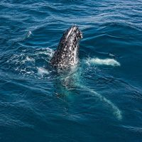 Hervey Bay Whales