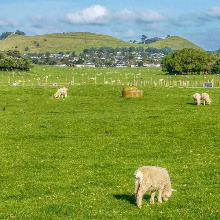 Sheep in Ambury park in Auckland