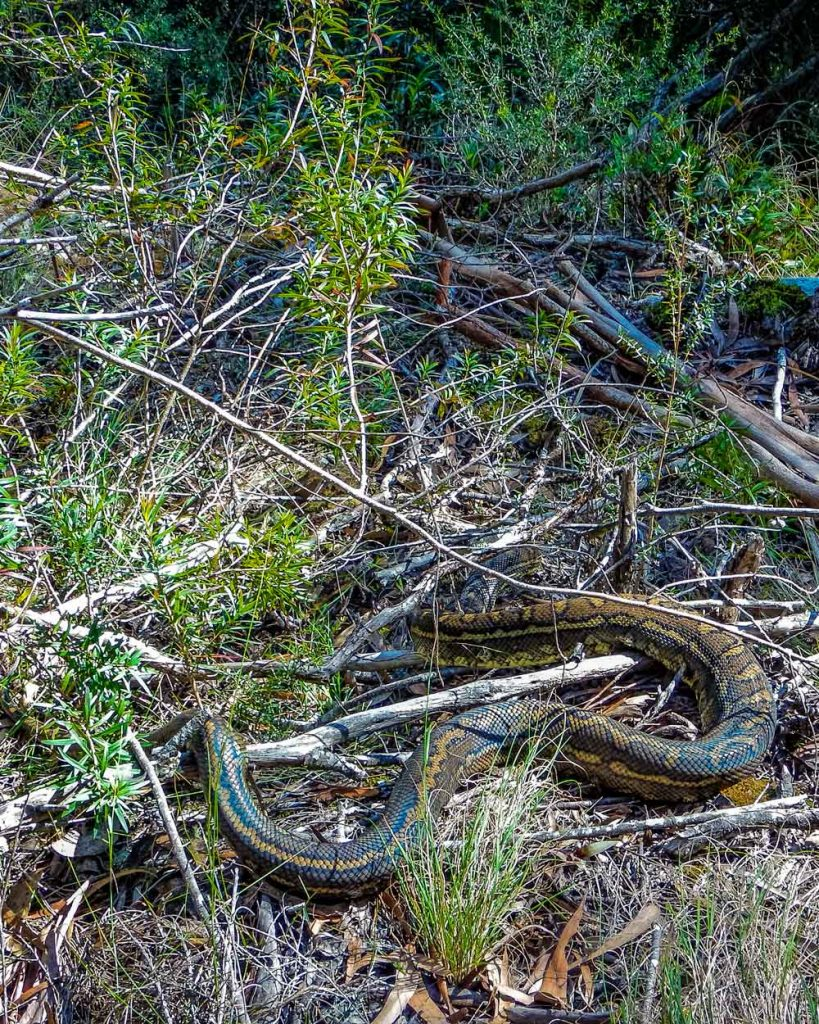 large carpet python (snake) on Twin Falls walk