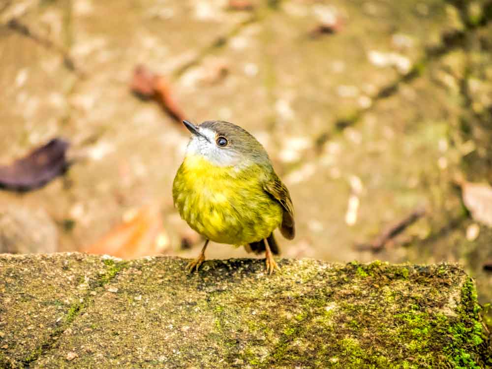pale yellow robin on Twin Falls track
