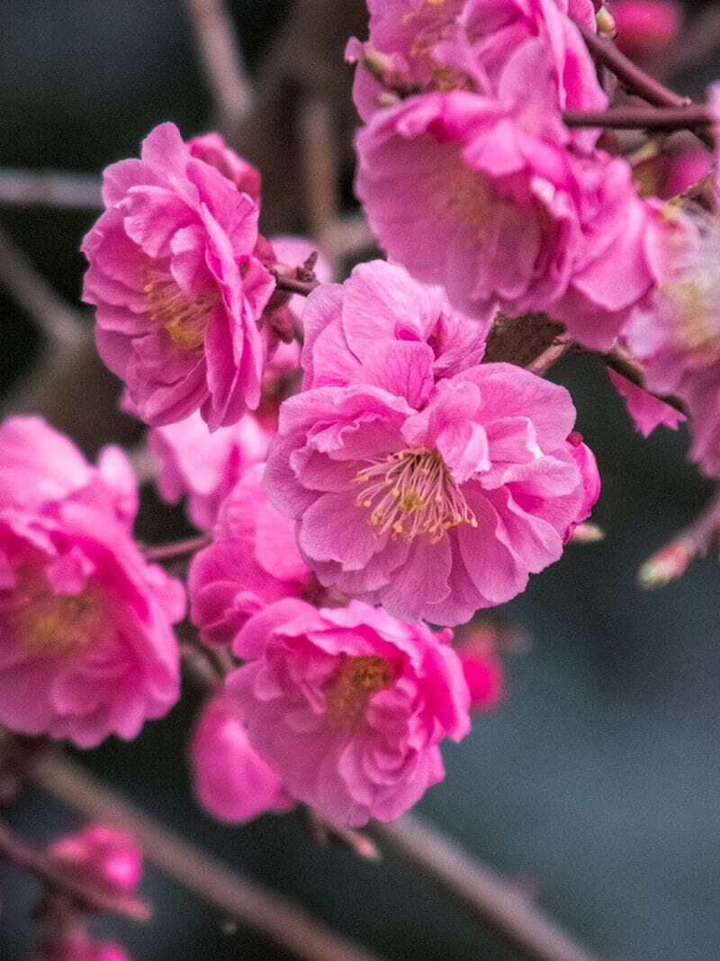 Plum of crosier | Miyajima