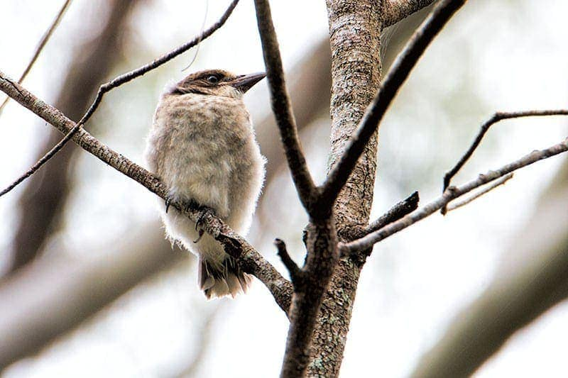 Young Butcher Bird