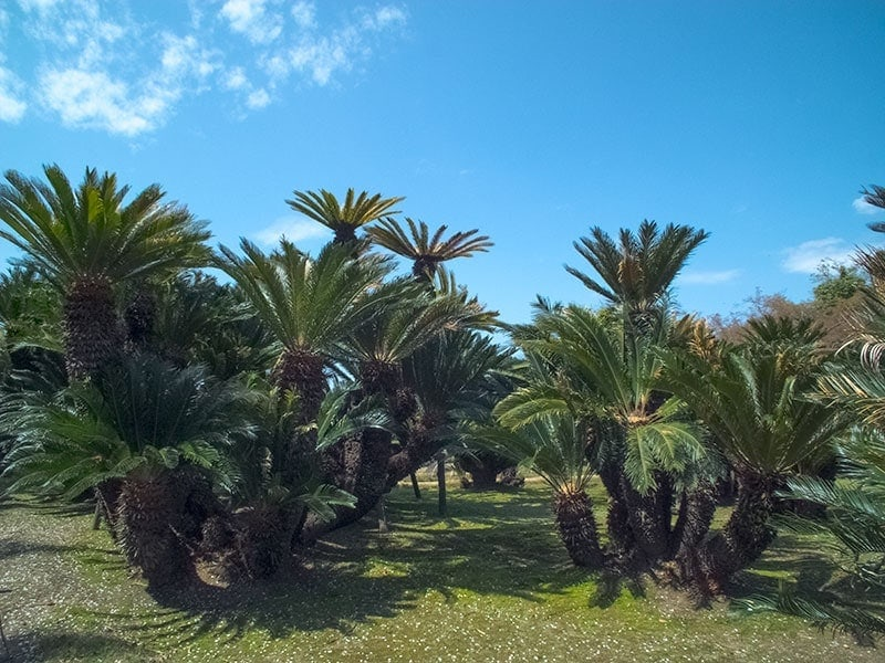 cycad garden at Korakuen