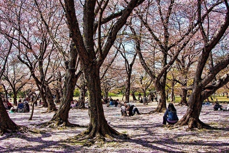 Sakura trees at Korakuen garden in Okayama