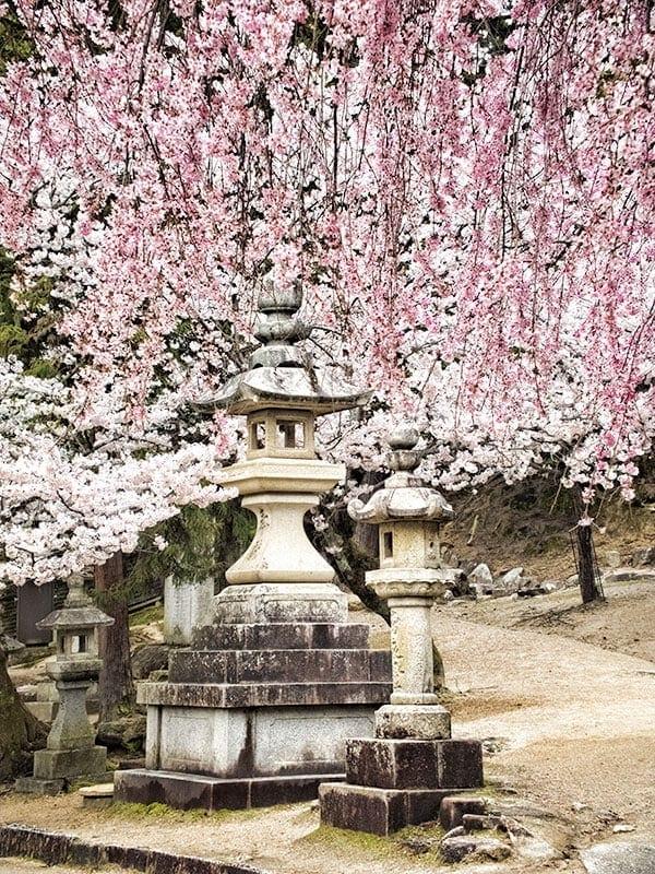 Sakura on Miyajima