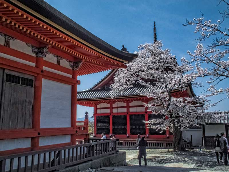 Kiyomizudera temple in sakura season