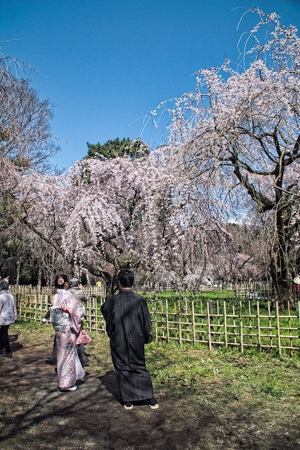 Sakura at the Imperial Palace