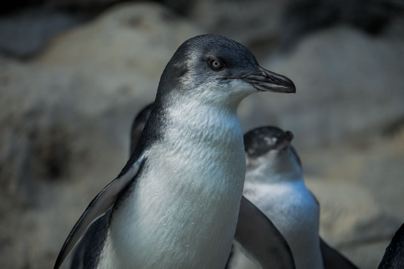 Australia's adorable little penguins