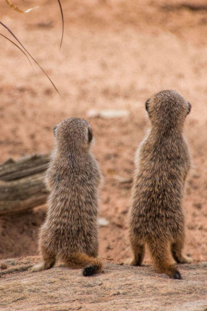 Meerkat babies (called pups) provided so much entertainment at Taronga Zoo Sydney